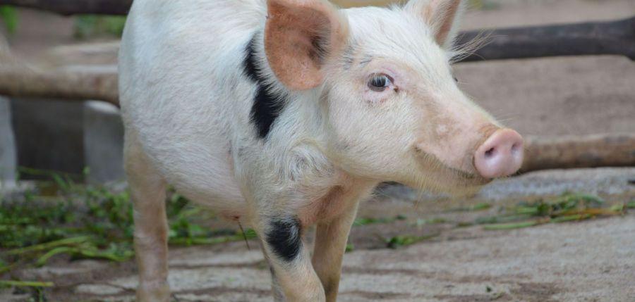 Bio Camp Schweine